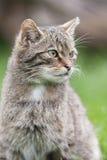 Chat sauvage écossais Photographie stock libre de droits