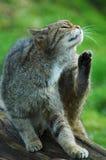 Chat sauvage écossais ayant un sratch Images libres de droits