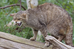 Chat sauvage écossais sur un tronçon d'arbre Photo libre de droits