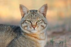 Chat sauvage africain image libre de droits