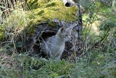 Chat sauvage, Allemagne Image libre de droits