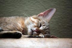 Chat sauvage Arabe (gordoni de silvestris de Felis) Image libre de droits