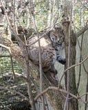 Chat sauvage asiatique en captivité image stock