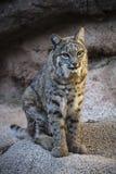 Chat sauvage au musée Tucson Arizona de désert de l'Arizona Sonoran photo libre de droits