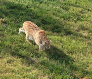 Chat sauvage au pays d'ours Photographie stock