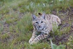 Chat sauvage au repos Photos libres de droits