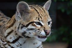 Chat sauvage d'ocelot Photo libre de droits