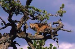 Chat sauvage dans l'arbre Images libres de droits