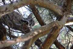 Chat sauvage dans l'arbre photos libres de droits