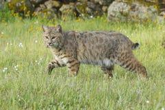 Chat sauvage dans l'herbe vert-foncé Image stock