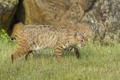 Chat sauvage dans l'herbe vert-foncé Photos stock