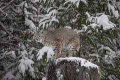 Chat sauvage dans la forêt neigeuse Images stock