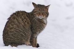Chat sauvage dans la neige Image stock