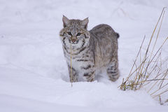Chat sauvage dans la neige blanche profonde Photos stock