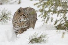Chat sauvage dans la neige blanche profonde Images libres de droits
