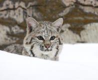 Chat sauvage dans la neige profonde Photos stock