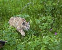 Chat sauvage dans le pré herbeux Images stock
