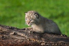 Chat sauvage de bébé (rufus de Lynx) sur le rondin faisant face à gauche Photographie stock