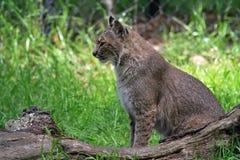 Chat sauvage de la Floride en parc d'état de faune Photos stock