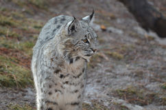 Chat sauvage errant curieux Image stock