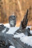 Chat sauvage et x28 ; Rufus& x29 de Lynx ; Les promenades lèvent le rondin Photos stock