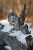 Chat sauvage et x28 ; Rufus& x29 de Lynx ; Prépare pour sauter Photo stock