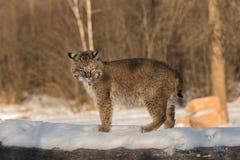 Chat sauvage et x28 ; Rufus& x29 de Lynx ; Supports provoquants placé sur le rondin Photographie stock