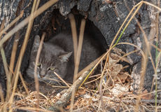 Chat sauvage européen Photographie stock