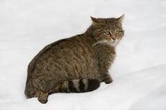 Chat sauvage européen Photo libre de droits