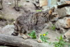 Chat sauvage européen, Felis s silvestris Photos libres de droits