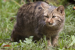 Chat sauvage européen (silvestris de Felis). Photographie stock