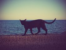 Chat sauvage marchant le long du mur en mer Images stock