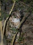 Chat sauvage nord-américain - se cache dans les buissons Photo stock