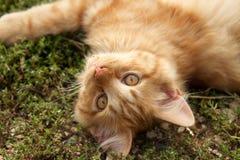 Chat sauvage orange Photographie stock libre de droits