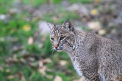 Chat sauvage ou baie Lynx Photographie stock