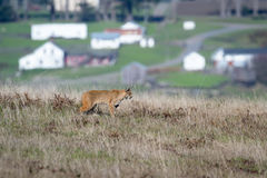 Chat sauvage - rufus de Lynx Photos stock