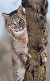 Chat sauvage (rufus de Lynx) derrière des branches Image libre de droits