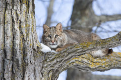 Chat sauvage s'étendant sur la branche Image libre de droits