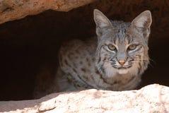 Chat sauvage sautant hors de la caverne Image libre de droits