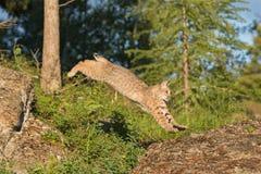 Chat sauvage sautant sur la roche Photo libre de droits