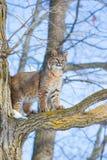 Chat sauvage se tenant à l'attention photo libre de droits