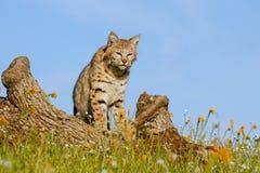 Chat sauvage se tenant sur un rondin Image libre de droits