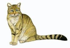 Chat sauvage (silvestris de Felis) Image stock