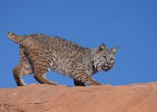 Chat sauvage sur l'arête rouge de roche avec le ciel bleu à l'arrière-plan Images libres de droits