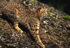 Chat sauvage sur la roche Photo libre de droits