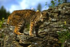 Chat sauvage sur la roche Photos stock