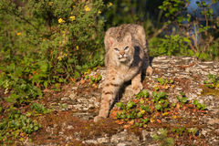 Chat sauvage sur la roche Photos libres de droits