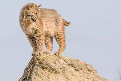 Chat sauvage sur la roche Images libres de droits