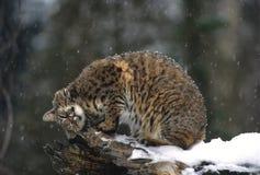 Chat sauvage sur le logarithme naturel Photo libre de droits