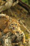 Chat sauvage sur le logarithme naturel Image libre de droits